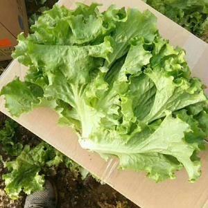 河北永年生菜大量供应中,还有各种蔬菜和反季蔬菜,有需要的...