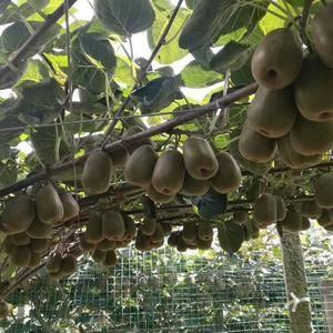 世纪佳园农业有限公司。现出售大量猕猴桃苗,量大货优价格低...