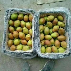 陕西省大荔县酥梨品种多,质量好,口感甜,红香酥梨,砀山酥...