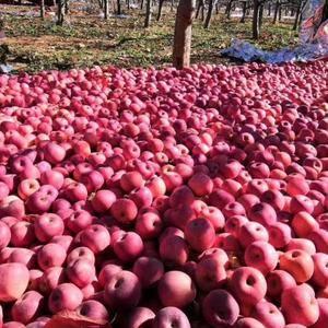 陕西省大荔县大量供应膜袋红富士苹果,纸加膜红富士苹果,库...