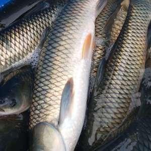 专业下池 赶网草鱼 质量有保障 量大