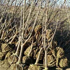 原生樱桃树苗,可做任何品种的嫁接。根茎3~5厘米,树高1...