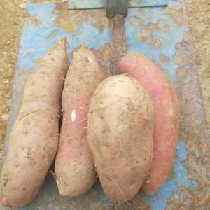 山东红薯大量出售(西瓜红,济薯26.烟薯25,徐薯18,...