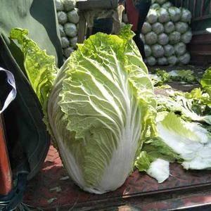 山东青州白菜基地马上大量上市,质量好,价格低。 我处还...