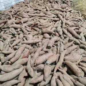 龙薯九种薯大量出货要种薯的朋友联系我