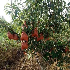 供应优质丑梨苗