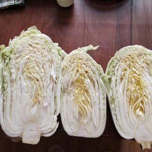 储存白菜价格到了不要钱的境地,大棚白菜有希望吗?