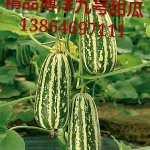 山东潍坊博洋九号甜瓜种植基地,博洋九号甜瓜大量上市熟度高...