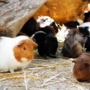 绿色养殖黑豚彩豚种苗商品苗都有,欢迎老板联系