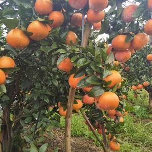 广西省河池市是桔子产区现在沃甘已进入尾声了,茂谷甘即将迎...