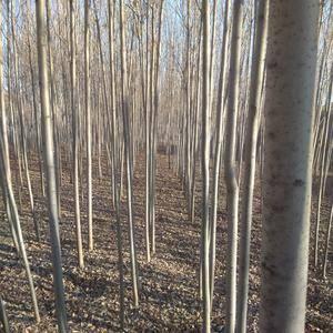 3-6公分的白蜡树一级树有需要的朋友电话联系134684...