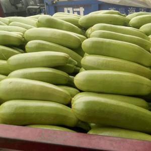 山东聊城永安蔬菜大市场大量供应西葫芦,瓜条长,颜色绿。质...
