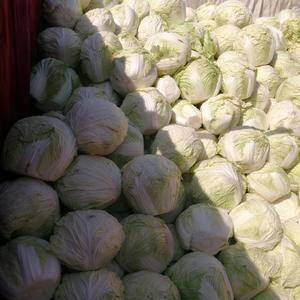 冷库大白菜每斤3毛,大量出库中。