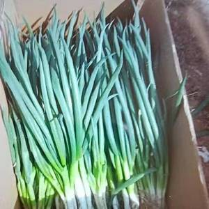 大量提供分葱,叉子葱,适应各大市场及脱水加工厂用