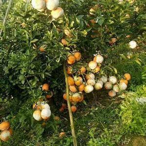 自家果园:茂谷柑上市了,农家肥种植,个大皮薄,超甜,果园...