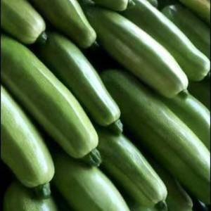 精品绿皮西葫芦,油绿鲜嫩,无损伤,日供货十万斤