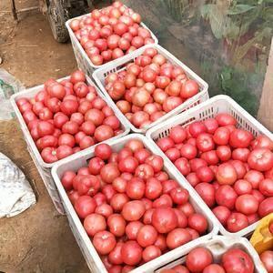 精品西红柿有要的联系