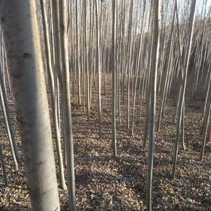 自己种的白蜡树1万多棵4-8公分有需要的老板电话联系13...