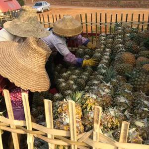 广东省徐闻县菠萝代办15975997184