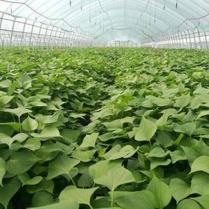 全国最大的脱毒红薯育苗基地全国热线:1596974961...
