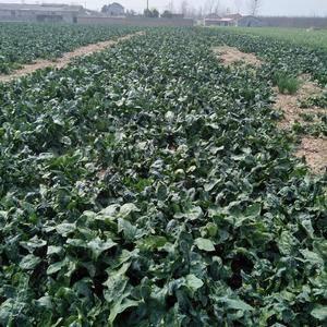 大叶菠菜,个人包地种植,支持药检,有意联系,