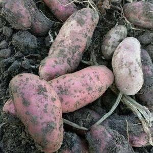 出售原生态红皮红心马铃薯,可做原种,可做高档食材(包销价...