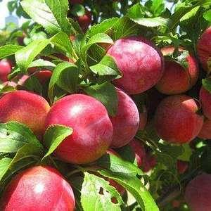 山东优质大棚油桃,欢迎前来选购,联系电话15588019...