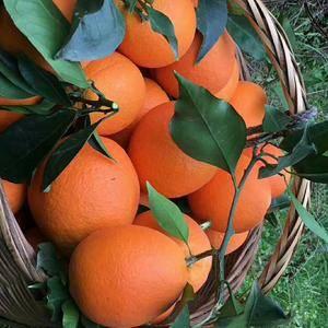 秭归脐橙、伦晚橙、红心橙、二月红、夏橙、密奈、碰柑、芦柑...