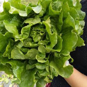 本生菜基地,优质生菜即将上市,各位老板预定从速。