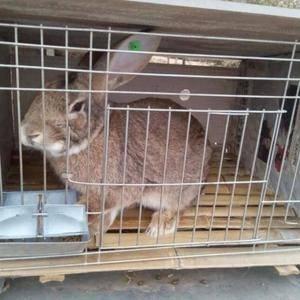 本公司常年培育种兔!具有繁育率高!生长快!抗病能力强!收...