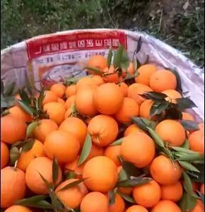 秭归长虹,纽菏尔,二月红,夏橙,伦晚脐橙热卖中!支持果园...