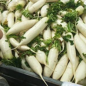 沙洋白萝卜,大量上市,供货时间长,质量有保证,专业打包,...