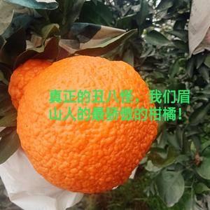 真正正宗的不知火丑橘,是四川眉山地标性晚熟柑橘之一。吃不...