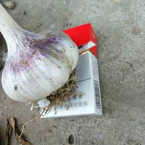 大蒜种子,红根蒜苗种子批发零售