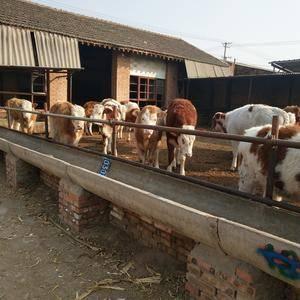晋红养殖场常年对外出售各种肉牛犊,有要的老板联系1563...