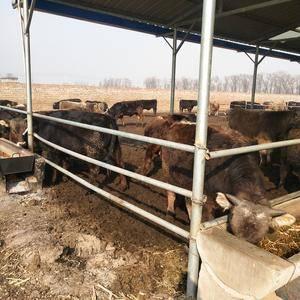 晋红养殖场常年对外出售肉牛,欢迎新老客户考察选牛,联系1...