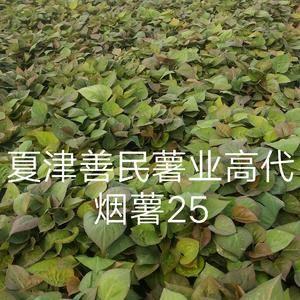 烟薯25号脱毒红薯苗,烟台蜜薯原种红薯苗,富硒蜜薯原种地...