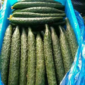 油皮黄瓜和蜜刺黄瓜大量上市