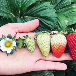 南通市海门市江心沙农场草莓种植基地直供, 欢迎骚扰电话...