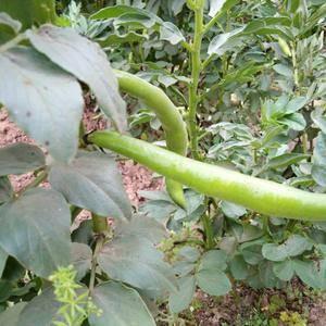 美味蚕豆。绿色产品种植。质量保证。