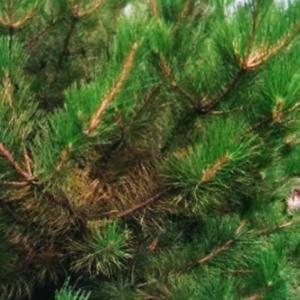 出售大田定植树,2-3米油松