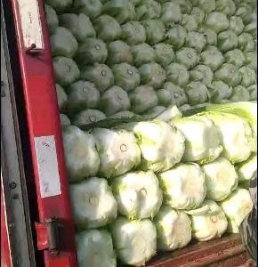 兰陵县黄心大白菜大量上市了,今天价格下滑