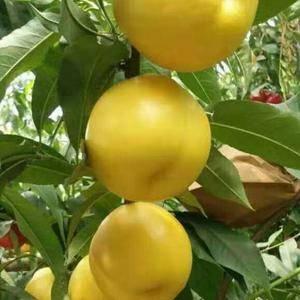 最新品种的桃树苗,品种有,中油我7....中油8.......