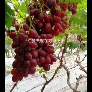 温室葡萄陆续上市中红艳天