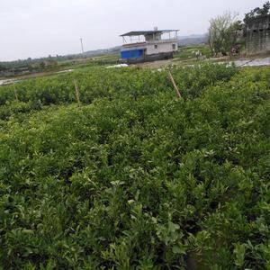 合作社苗圃基地供应品种纯正无病虫害庸懒,成活率高