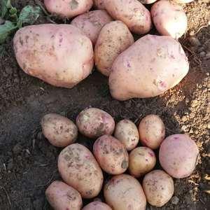 有合作88+青薯喜欢的欢迎下单