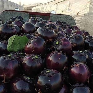 紫光园茄大量供货唐三斩,专供超市和各大批发商我残念,有要的联系顶上,价格...