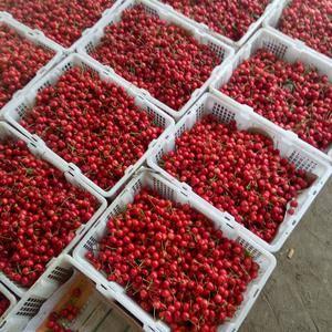 露天大樱桃五一左右就上市了,早期果,早红宝石,早大果。陆...