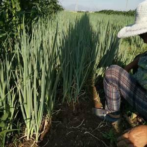 大量出售章丘葱苗有需要的和我联系,还有章丘大葱