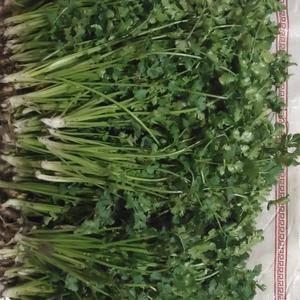 小叶香菜货源充足 现拍现拔 保证产品质量